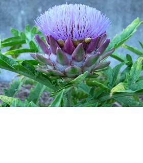 Aujourd'hui, on trouve parfois l'artichaut violet sur nos marchés. artichauts.ch