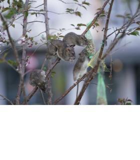Des rats juchés sur des branches en train de soutirer la nourriture aux oiseaux.
