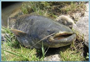 Pêché par un amateur, le spécimen a été remis à l'eau une fois photographié. DR