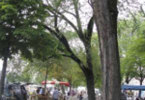 «Sauver les arbres de la plaine de Plainpalais»