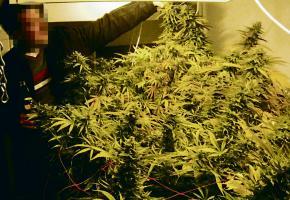 Une culture de cannabis indoor mise à jour par la police.