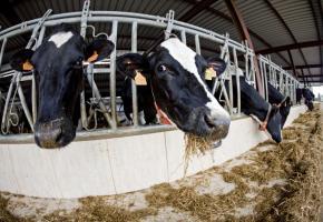 L'élevage intensif pousse à l'utilisation de médicamenet. DR