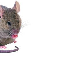 Les souris importunent les fonctionanires de l'OCP.
