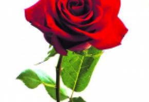 BOTANIQUE - «66e concours international de roses nouvelles»
