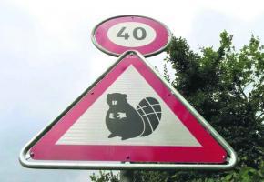 Depuis octobre 2012, les castors côtoient les automobilistes à leurs risques et périls.