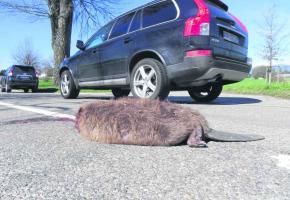 Un gros mâle de 17 kils a trouvé la mort à proximité de son étang.