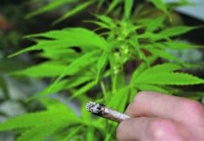Le cannabis est très prisé par les jeunes.