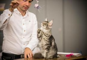 Quelque 1000 chats de plus de 35 races participeront  au concours de beauté. PIERRE ALBOUY