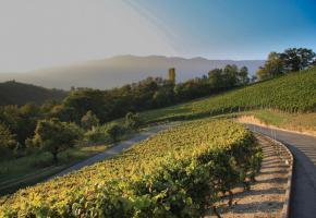 Le vignoble sous le village de Russin, avec le Jura en toile de fond. SUISSEMOBILE