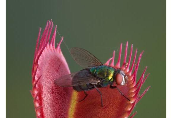 Les plantes carnivores: une solution radicale pour se débarrasser des mouches. 123RF/CATHY KEIFER