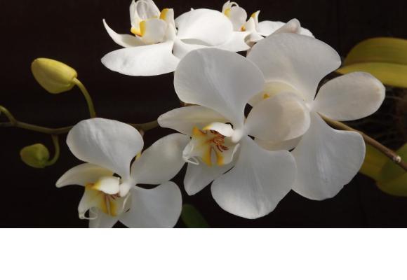 Voir apparaître de nouvelles fleurs sur une orchidée exige de la patience.