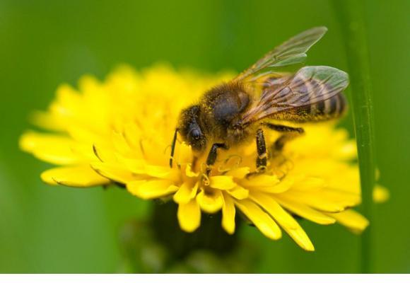 On se pique de sympathie pour l'abeille, reine de la pollinisation des plantes. NICOLAS DUPRAZ