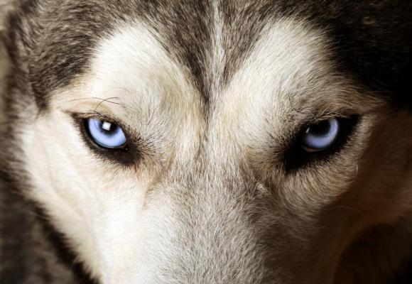 Le chien supplicié était un husky. PHOTO PRETEXTE 123RF/SBELOV