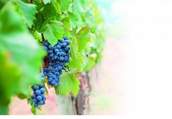 D'ici à 2020, 10% du vignoble genevois bénéficiera d'un mode de production bio. PIXABAY