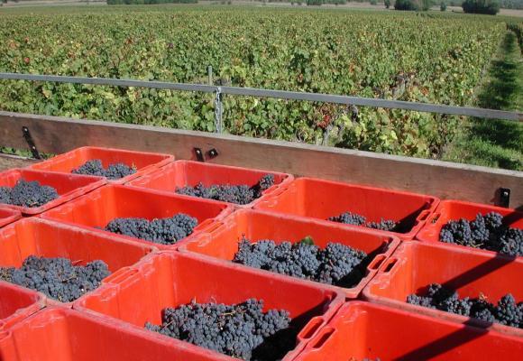 Grâce à une météo clémente, la production de vin devrait être excellente cette année. PIXABAY