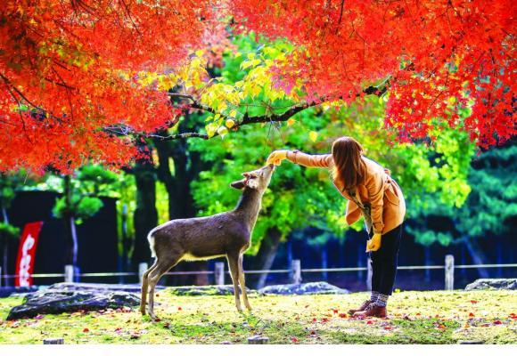 Le cerf Sika, dont un millier gambade à Nara, est une race de cervidés provenant de l'Asie du nord-est. 123RF/CHIH HSIEN HANG