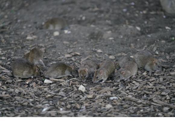 Des rats se régalent des graines pour oiseaux que d'autres congénères.