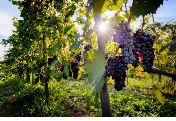 La météo clémente a permis d'obtenir un raisin de qualité. 123RF/MICHAL BEDNAREK