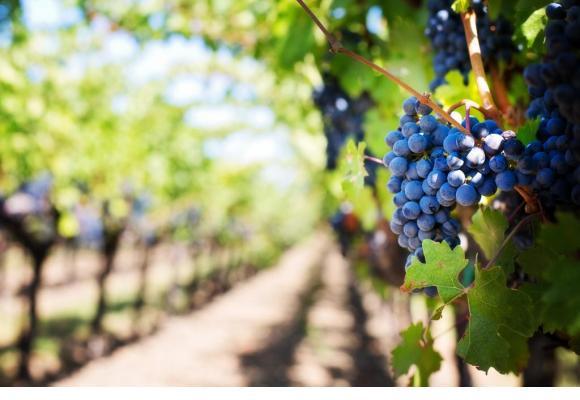 Le contrôle de la vendange a pour but essentiel de garantir la traçabilité du vin