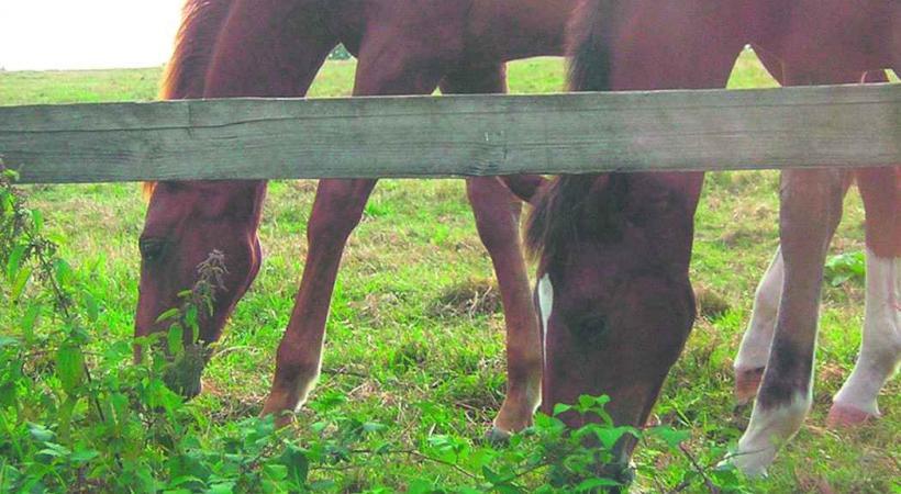 Les poneys laissent régulièrement des emprunts de sabots sur le terrain de foot voisin.