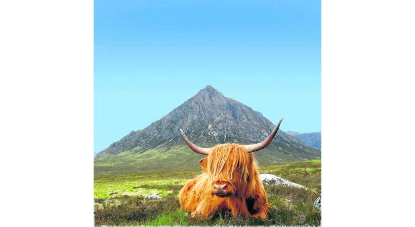 Craquante la vache Highland Cattle.