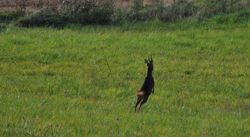 Une compagnie de sangliers.  Un brocard, chevreuil de plus d'un an, en fuite. JEAN-MARC GERARD DU MONT Rencontre avec des sangliers dans la forêt. Jean-Marc Gérard de Mont GETTY IMAGES/MAURIZIO BONORE
