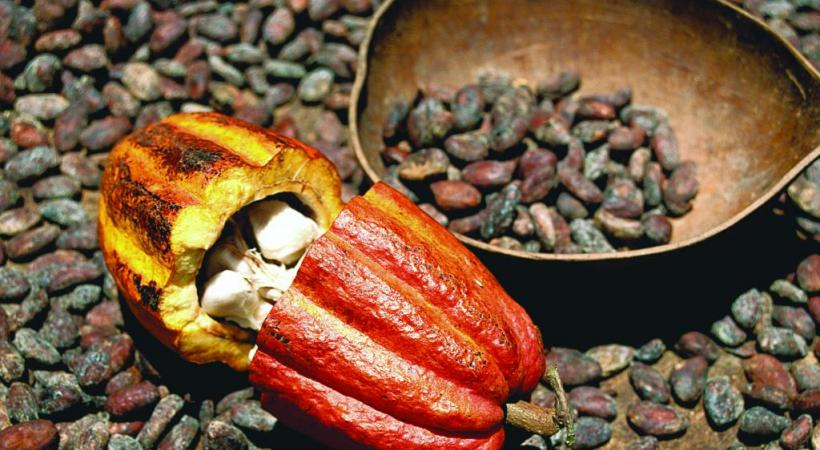 La cabosse contient entre 15 à 40 fèves de cacao.