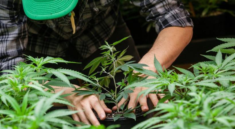 En cas de légalisation, le cannabis pourrait créer 2000 emplois dans le canton de Genève. 123RF/ERIC LIMON