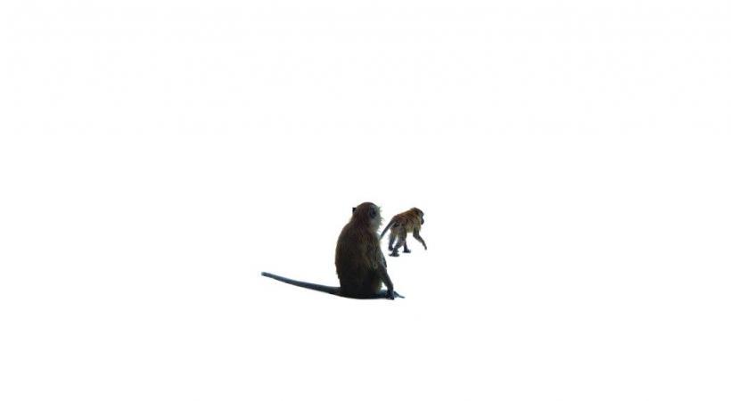 Les singes pullulent sur les îles thaïlandaises. PIXABAY