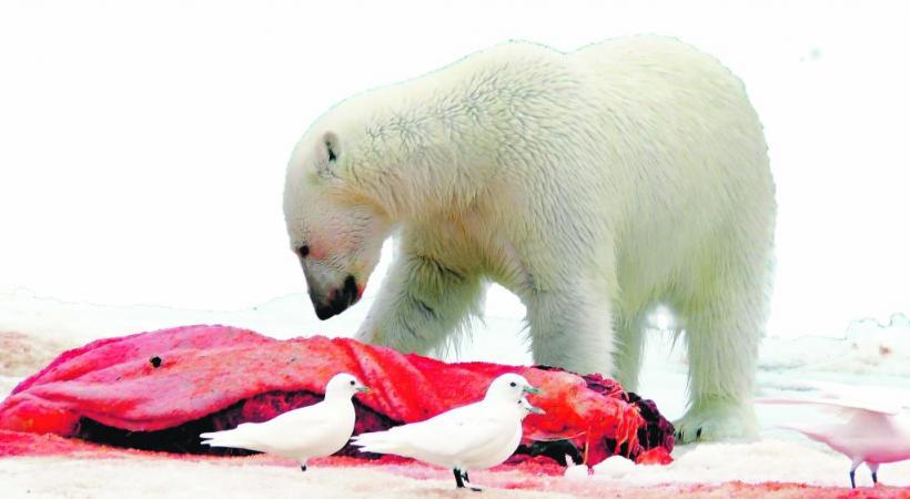 Un ours polaire survit avec 50 à 60 phoques par an.