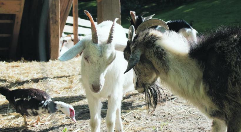 Les petits visiteurs peuvent approcher les animaux de la ferme.