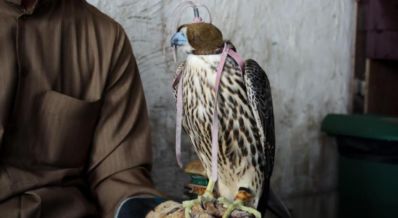 La fauconnerie, un «sport» national au Qatar. 123rf/pljvv