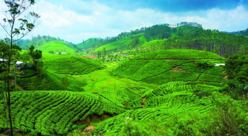 Les plantations de thé, dans les montagnes, rappellent que l'ancienne Ceylan est l'un des principaux producteurs mondiaux de ce breuvage.